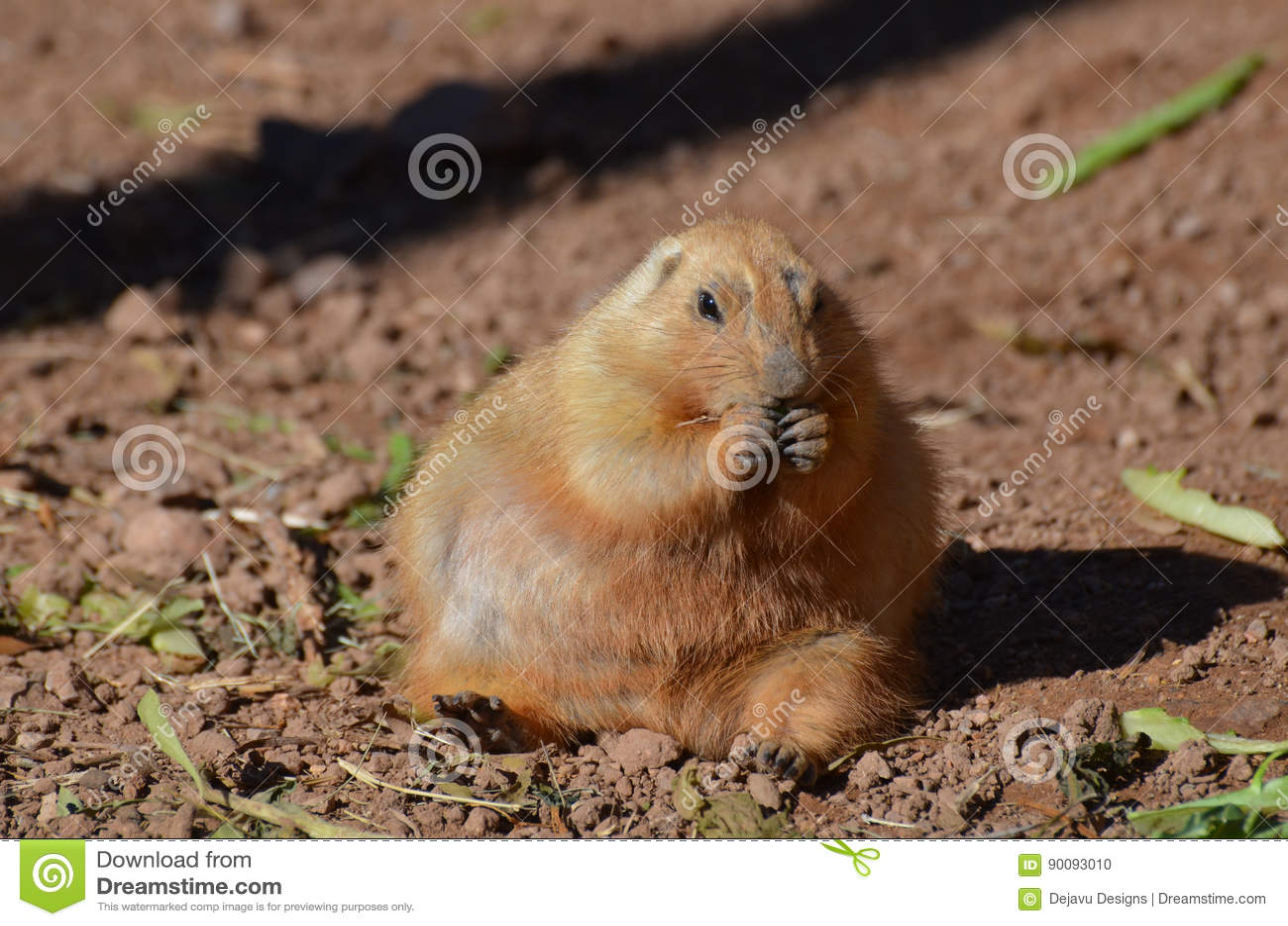 Marmotta grassa che fa un spuntino su un certo alimento