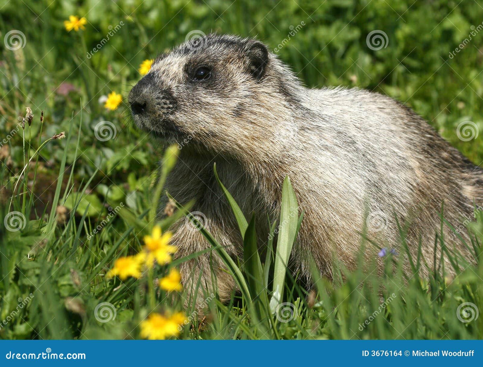 Download Marmotta Hoary fotografia stock. Immagine di fiori, aperto - 3676164