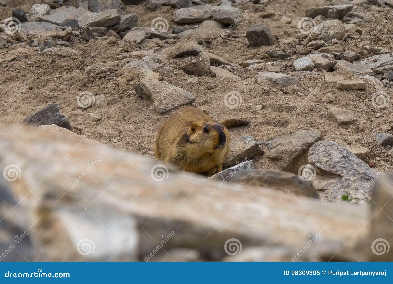 Marmotta intorno all area vicino al lago tso Moriri in Ladakh, India Le marmotte sono grandi scoiattoli in tensione nell ambito d