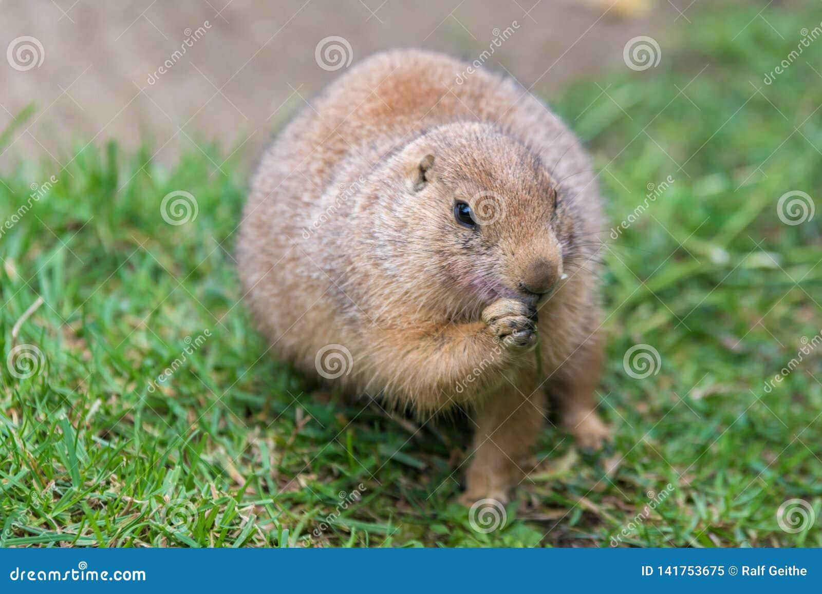 Marmotta nel rosicchiamento
