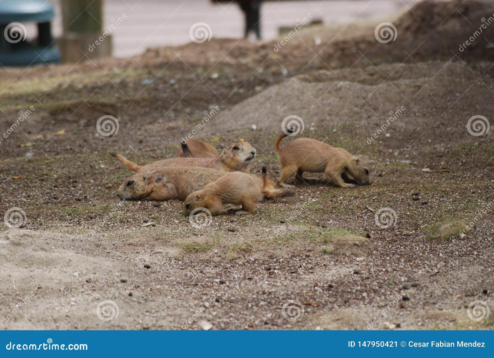 Marmotte con la sorveglianza della mamma