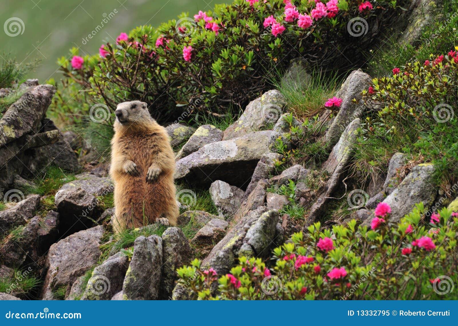 Marmotte entre les fleurs
