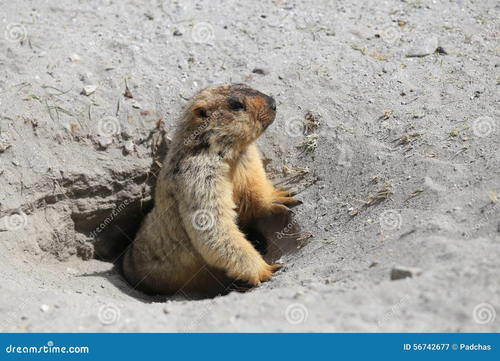 Marmotte mignonne jetant un coup d 39 oeil hors d 39 un terrier image stock image du pr nature - Oeil qui gonfle d un coup ...