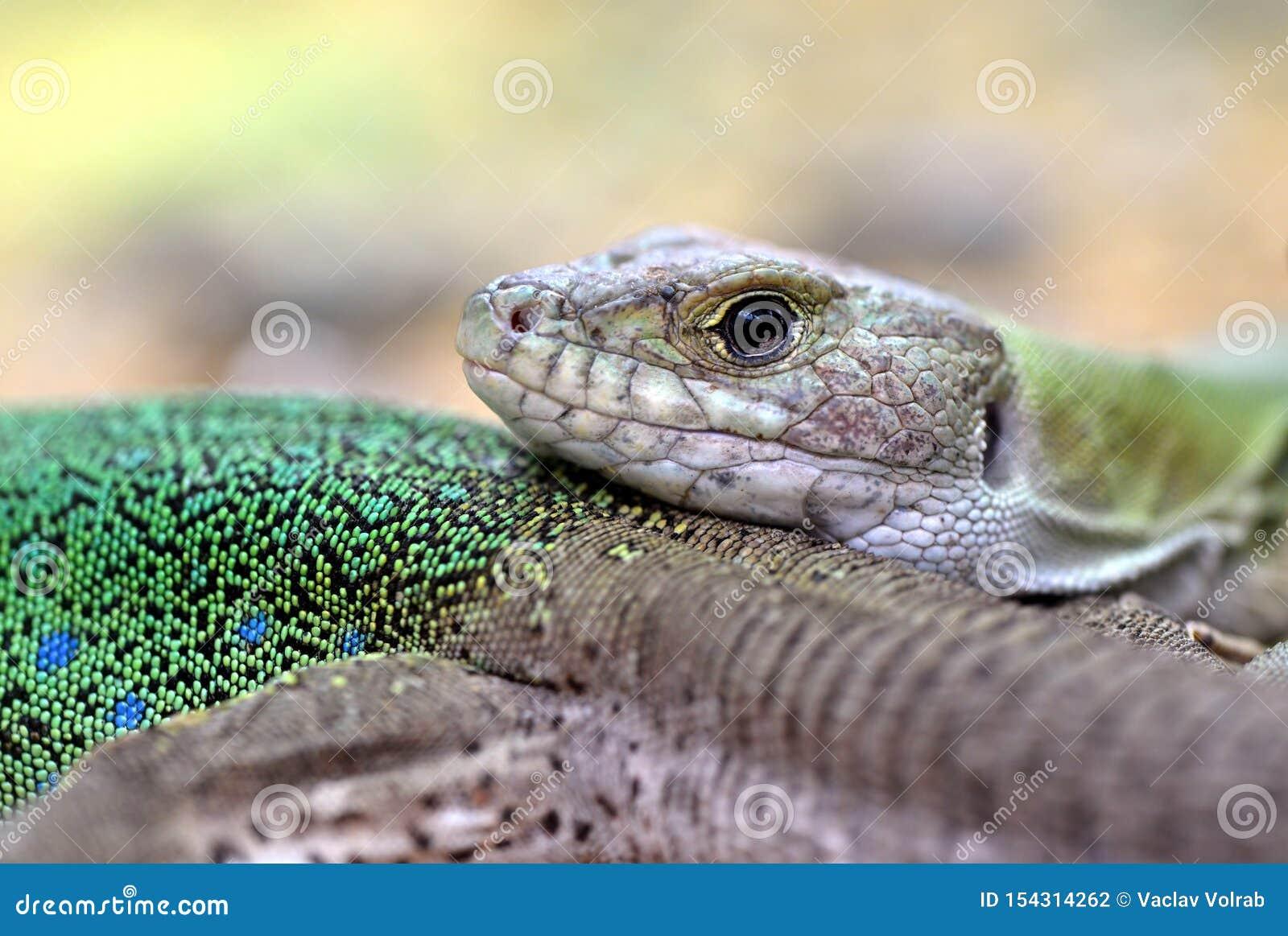 Marokkaanse eyed hagedis - Timon-tangitanus Hagedis in de familie Lacertidae