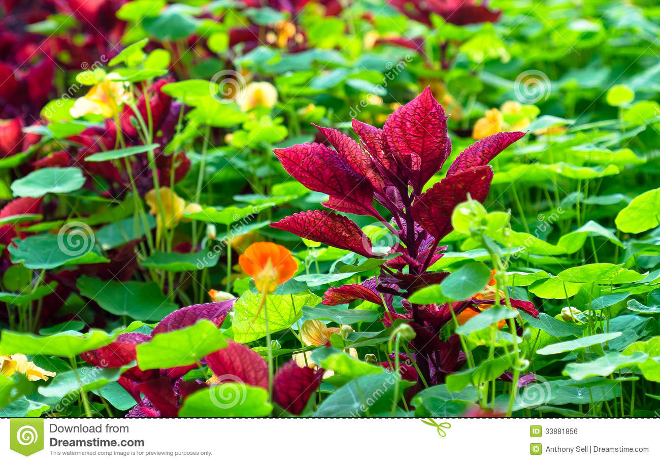maroon coleus plant royalty free stock image  image, Natural flower