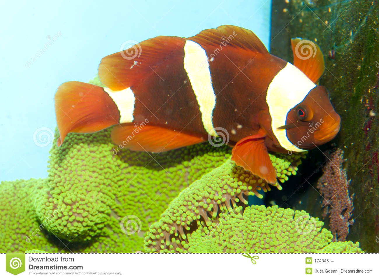 Maroon Yellow Stripe Clownfish Pair with roe Yellow Stripe Maroon Clownfish