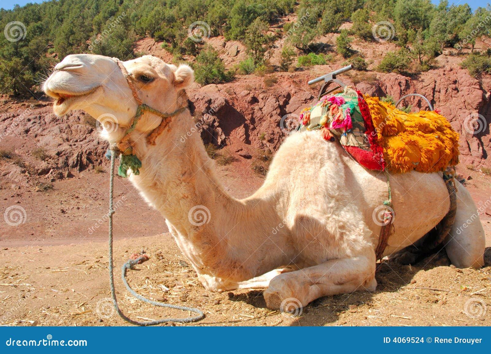Marrocos, C4marraquexe: Camelos