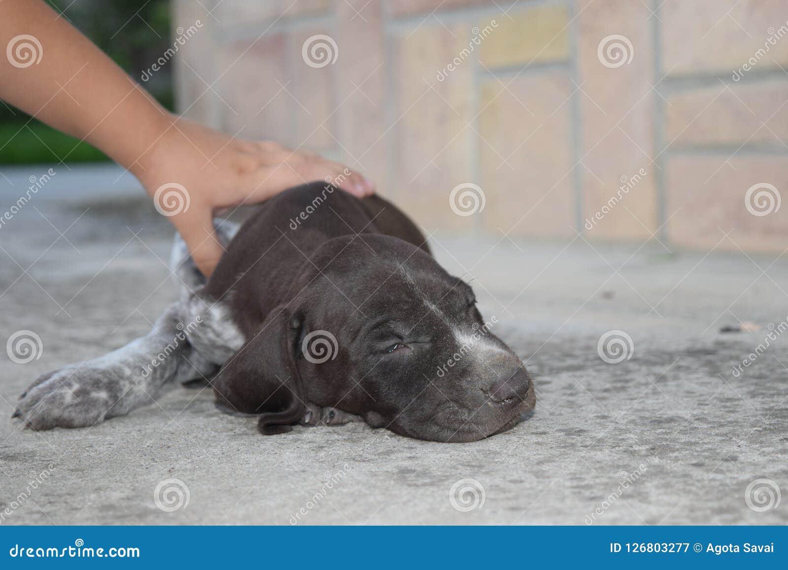Marrom bonito cachorrinho cooored do ponteiro