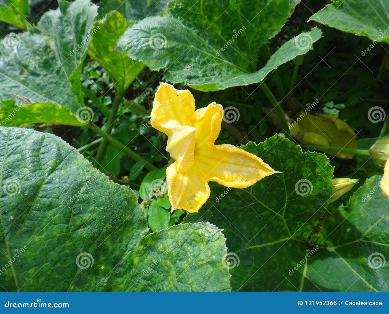 Marrow green yellow flower stock photo image of cocozelle download marrow green yellow flower stock photo image of cocozelle culture 121952366 mightylinksfo
