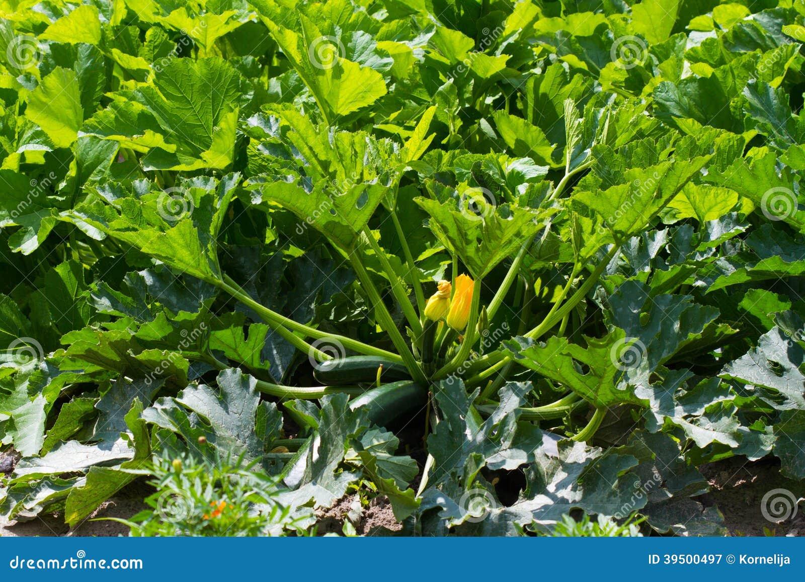 Marrow plant