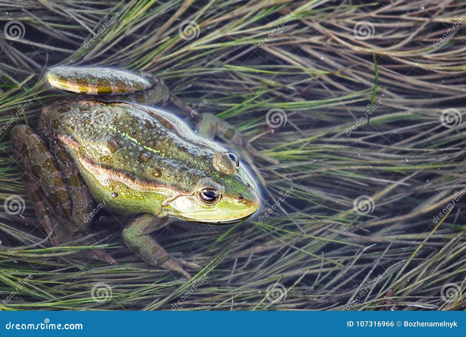 Marsh frog in pond full of weeds. Green frog Pelophylax esculentus sitting in water