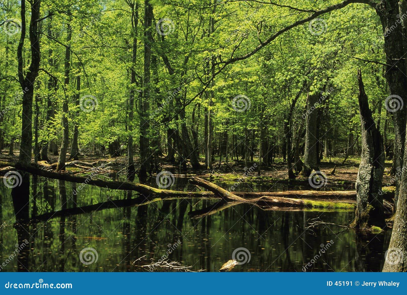 Marsh gumowy