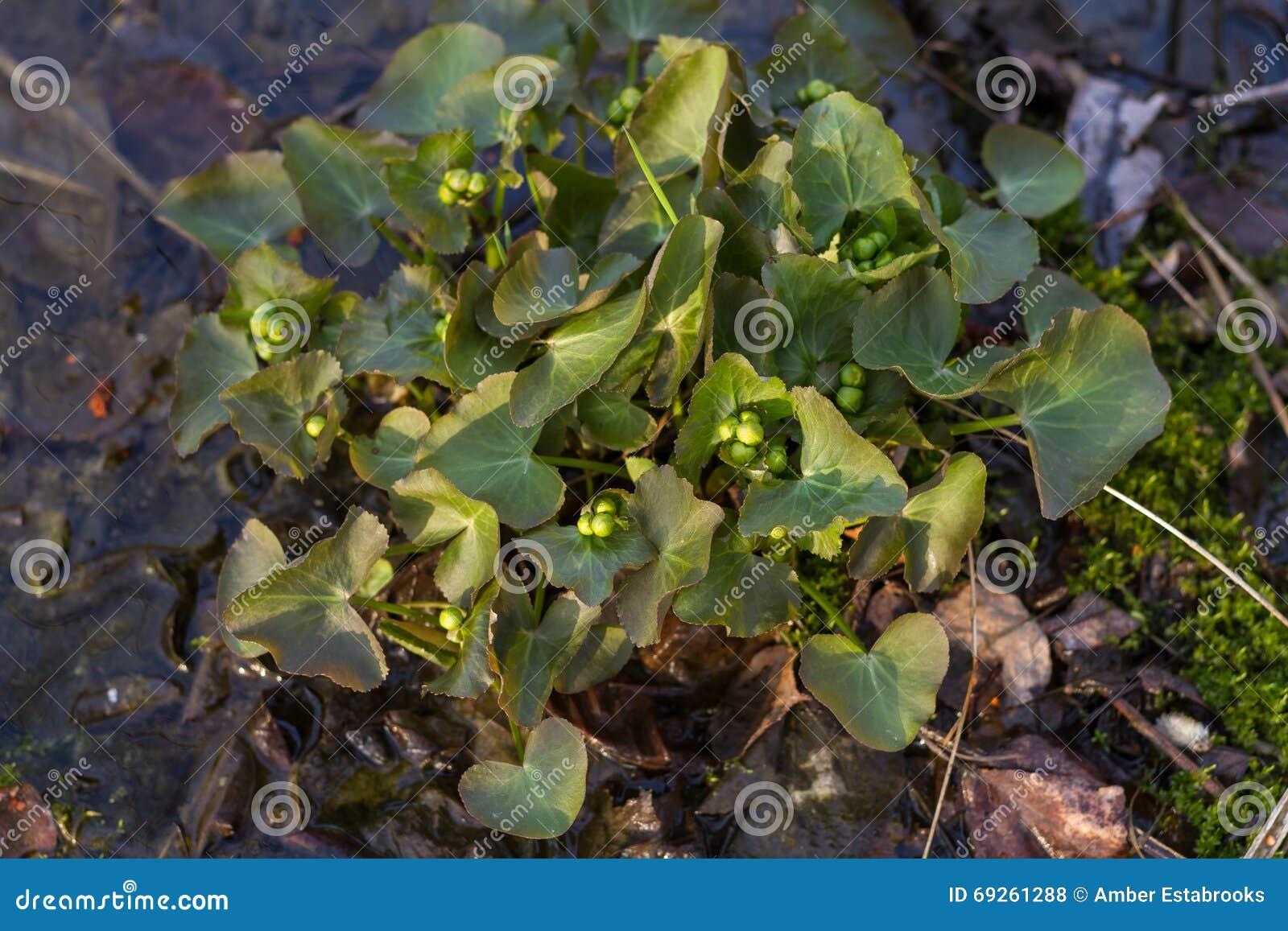 Marsh Marigold Buds