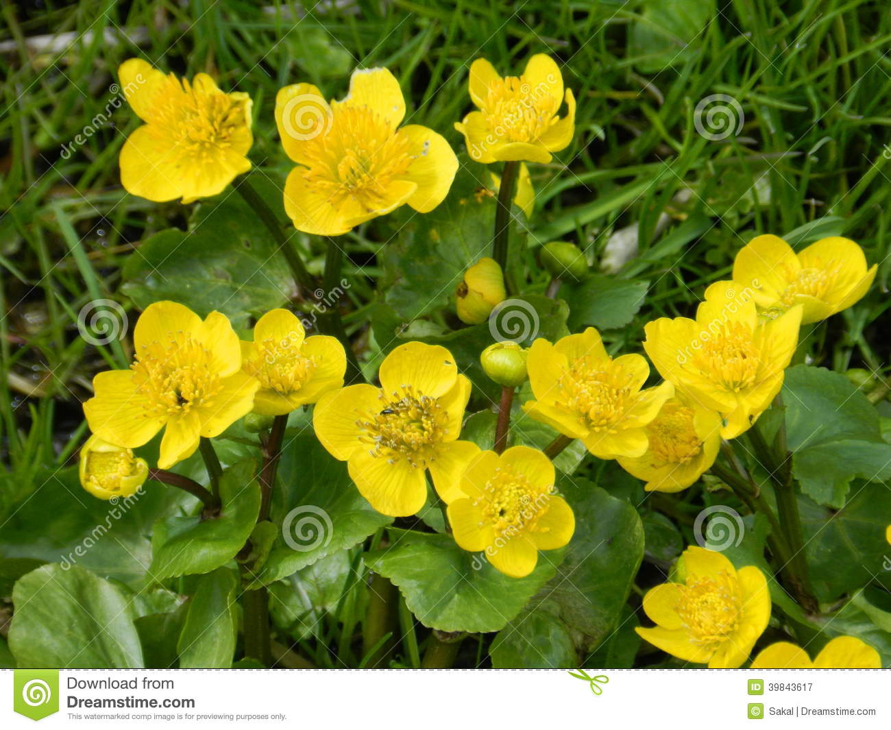 Marsh Marigold Flowers In Spring Stock Image Image Of Petals