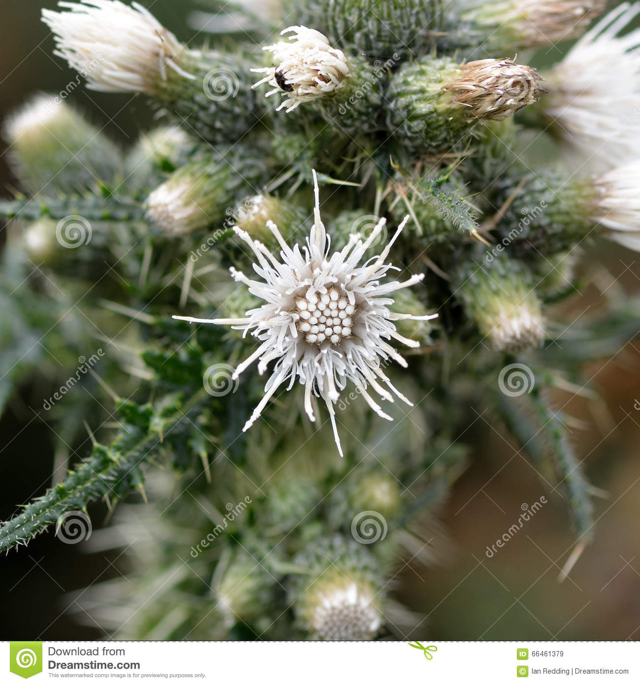 Marsh Thistle Cirsium Palustre White Flower Stock Image Image Of