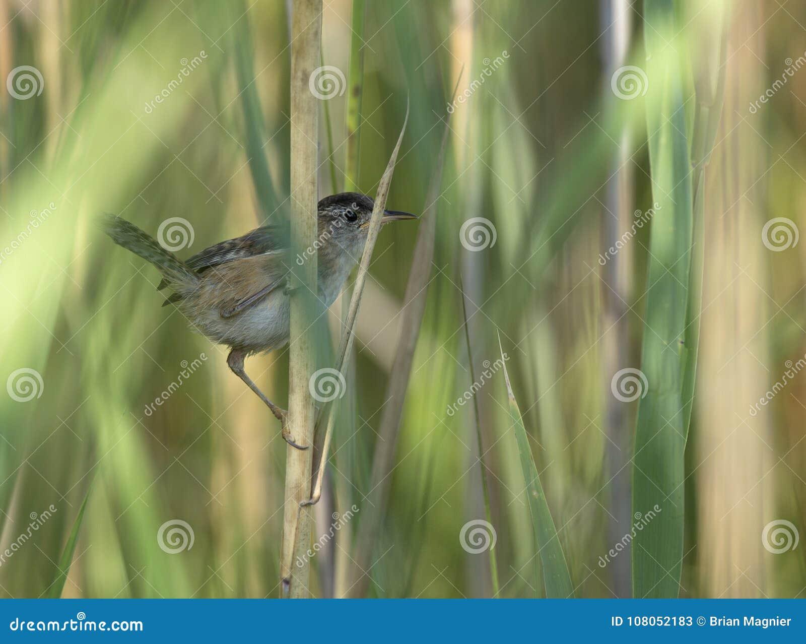 Marsh Wren était perché dans les roseaux