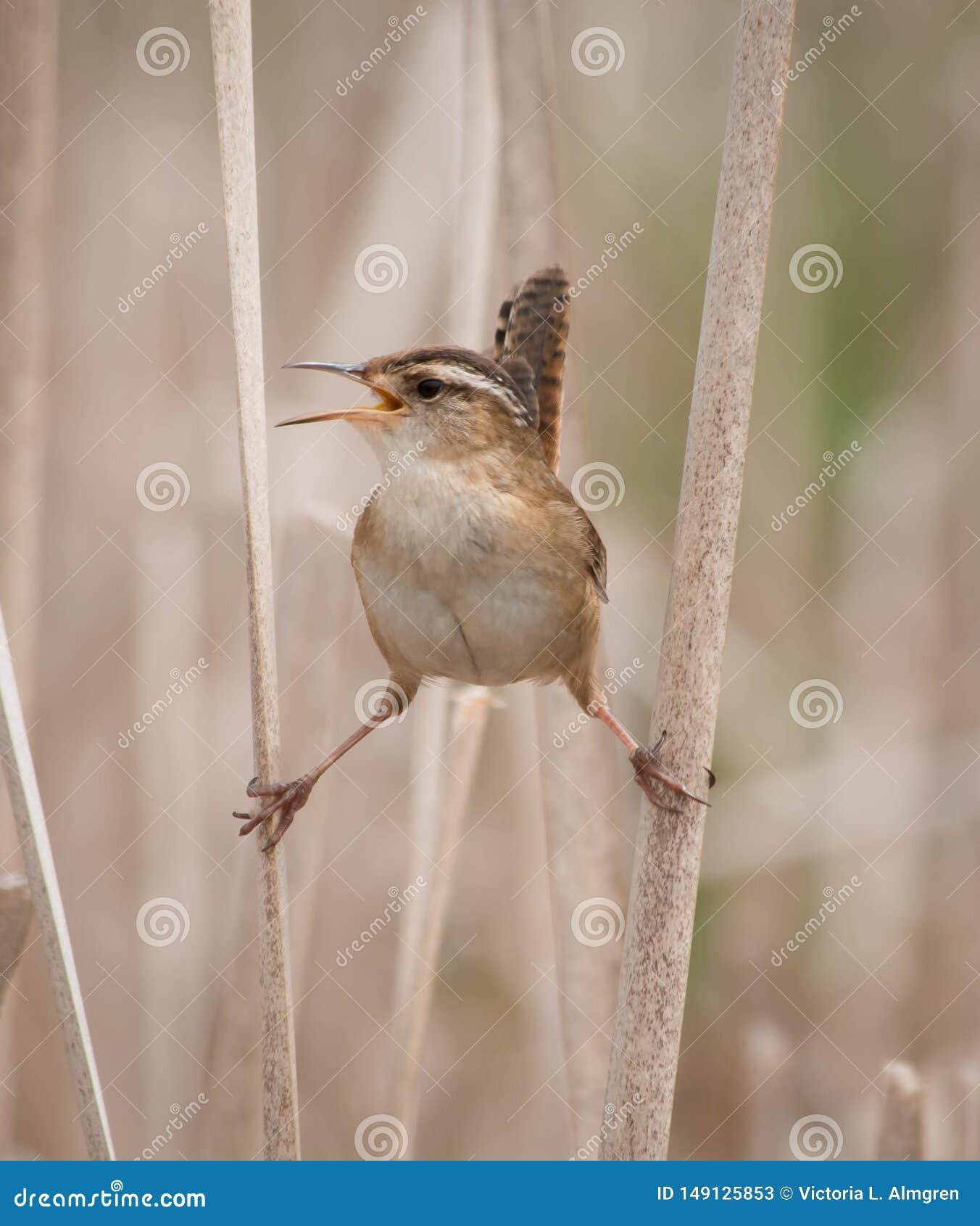 Marsh Wren cistothorus palustris on two reeds and singing