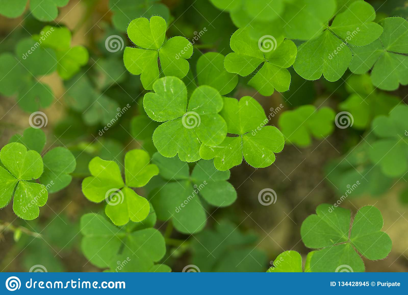 Marsilea crenata is a fern species in nature.
