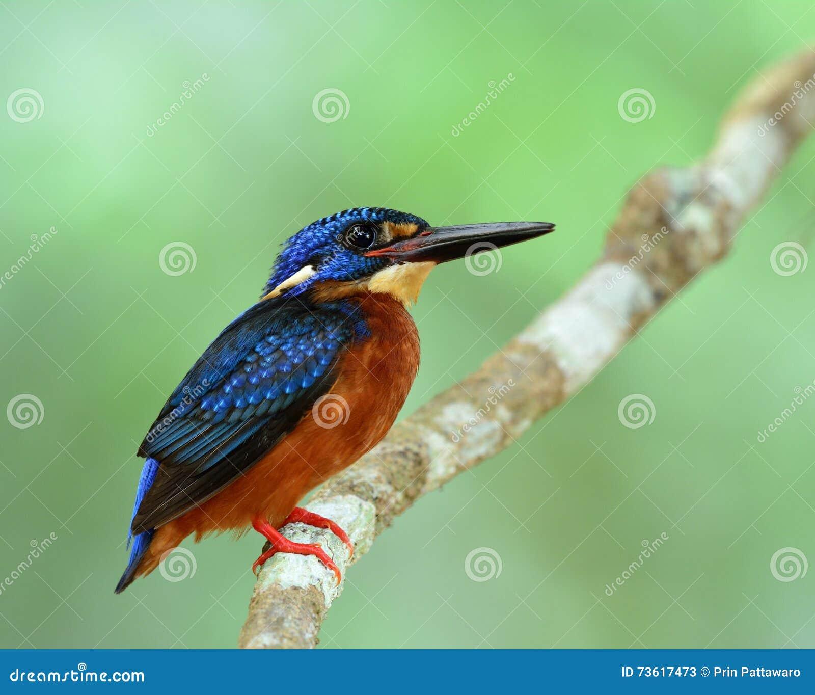 Martín pescador Azul-espigado (Alcedo meninting) el poco azul rechoncho
