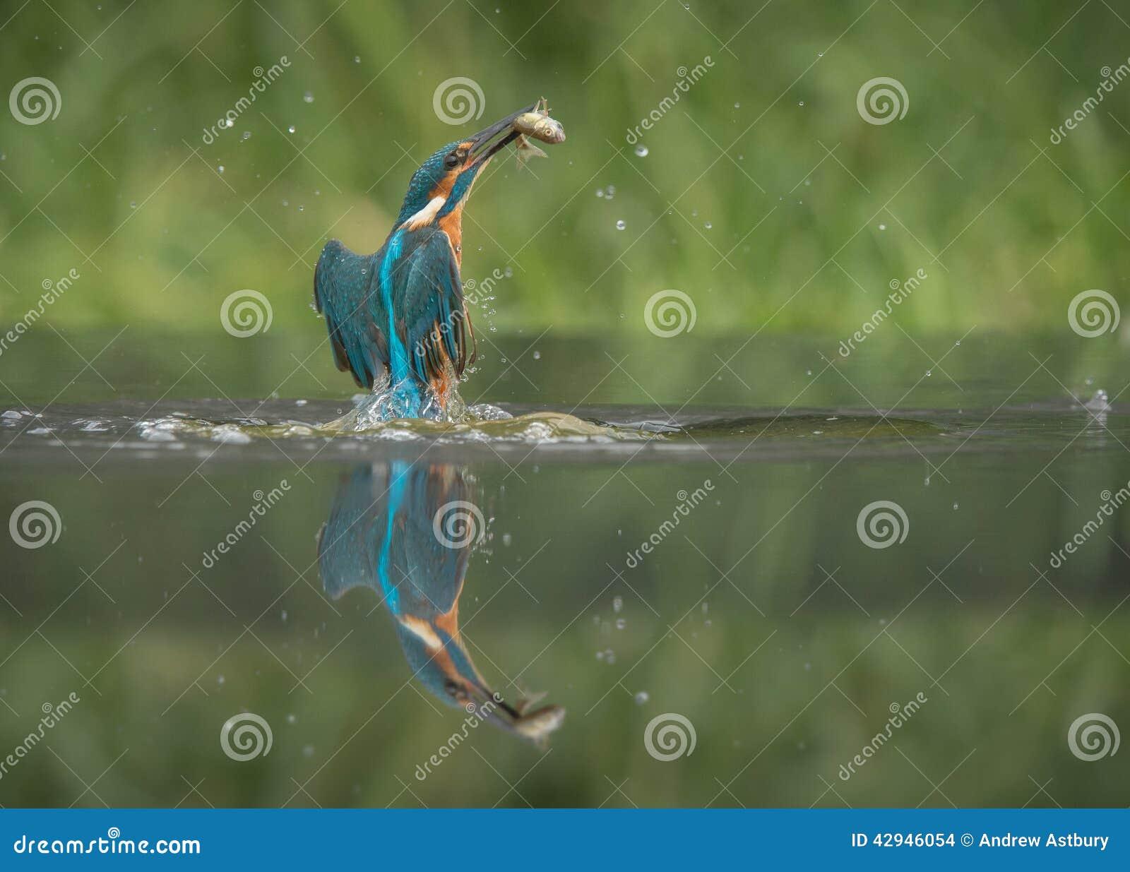 Martín pescador con la presa