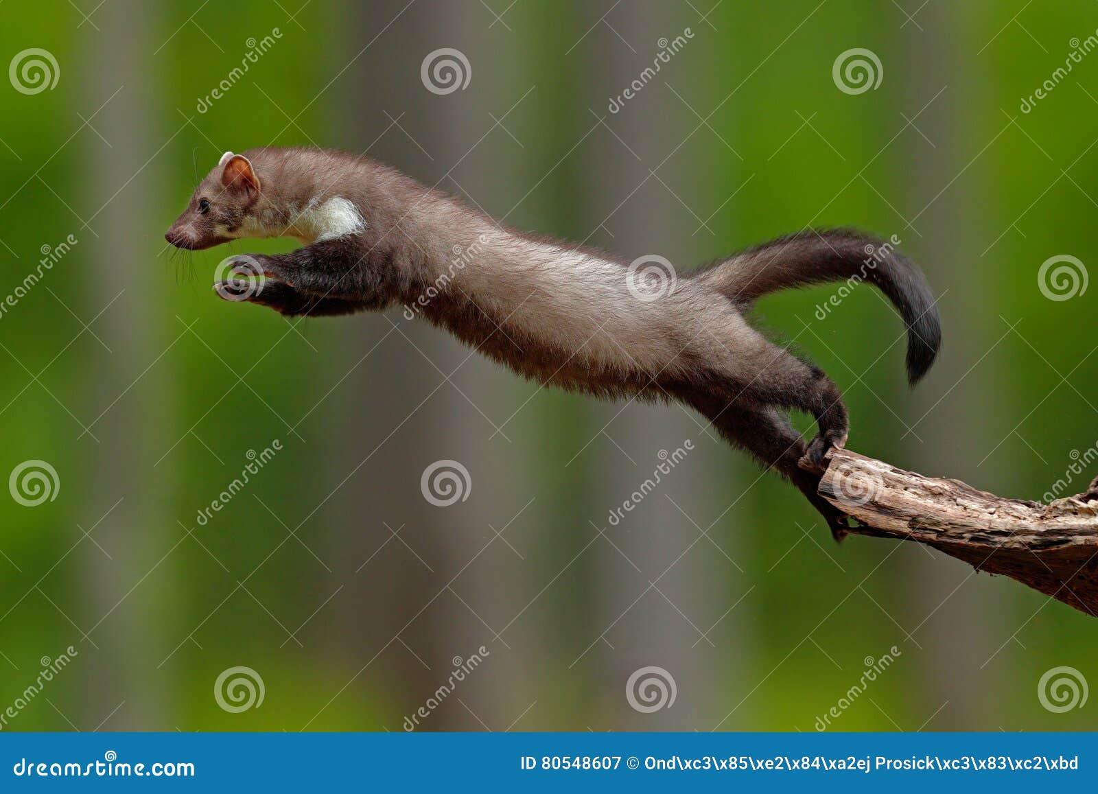 Marta de haya de salto, pequeño depredador oportunista, hábitat de la naturaleza La marta de piedra, foina del Martes, en bosque