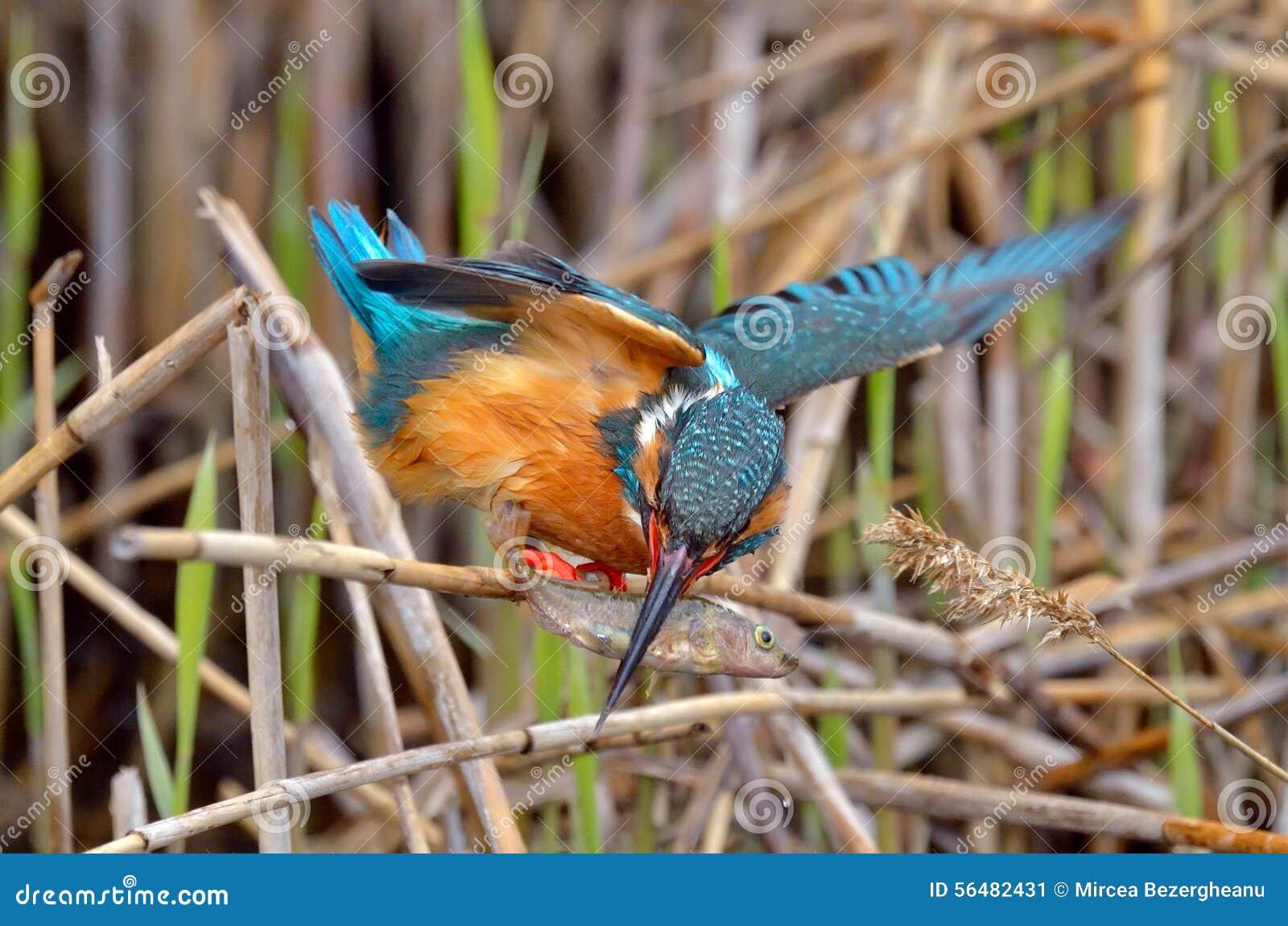 Martin-pêcheur (atthis d alcedo) dans l habitat naturel