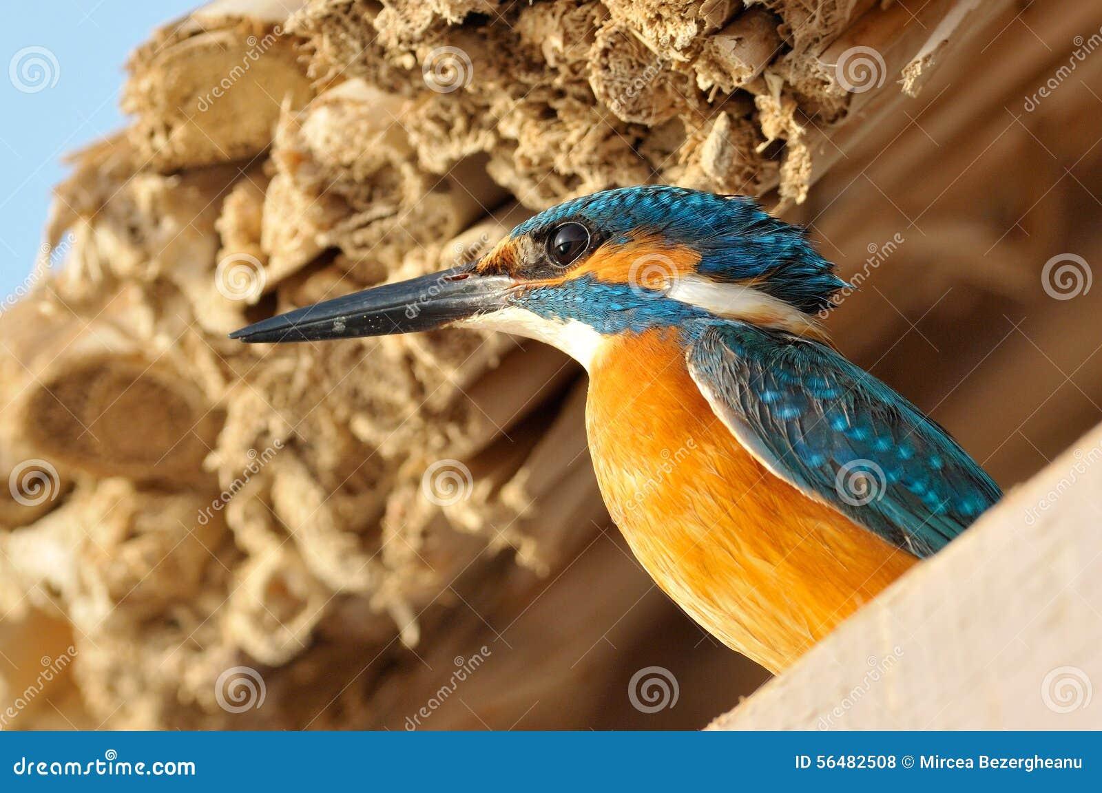 Martin-pêcheur (atthis d alcedo) extérieur