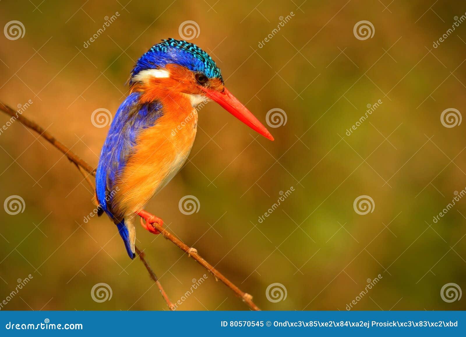 Martin-pêcheur de malachite, cristata d Alcedo, détail de l oiseau africain exotique se reposant sur la branche dans l habitat ve