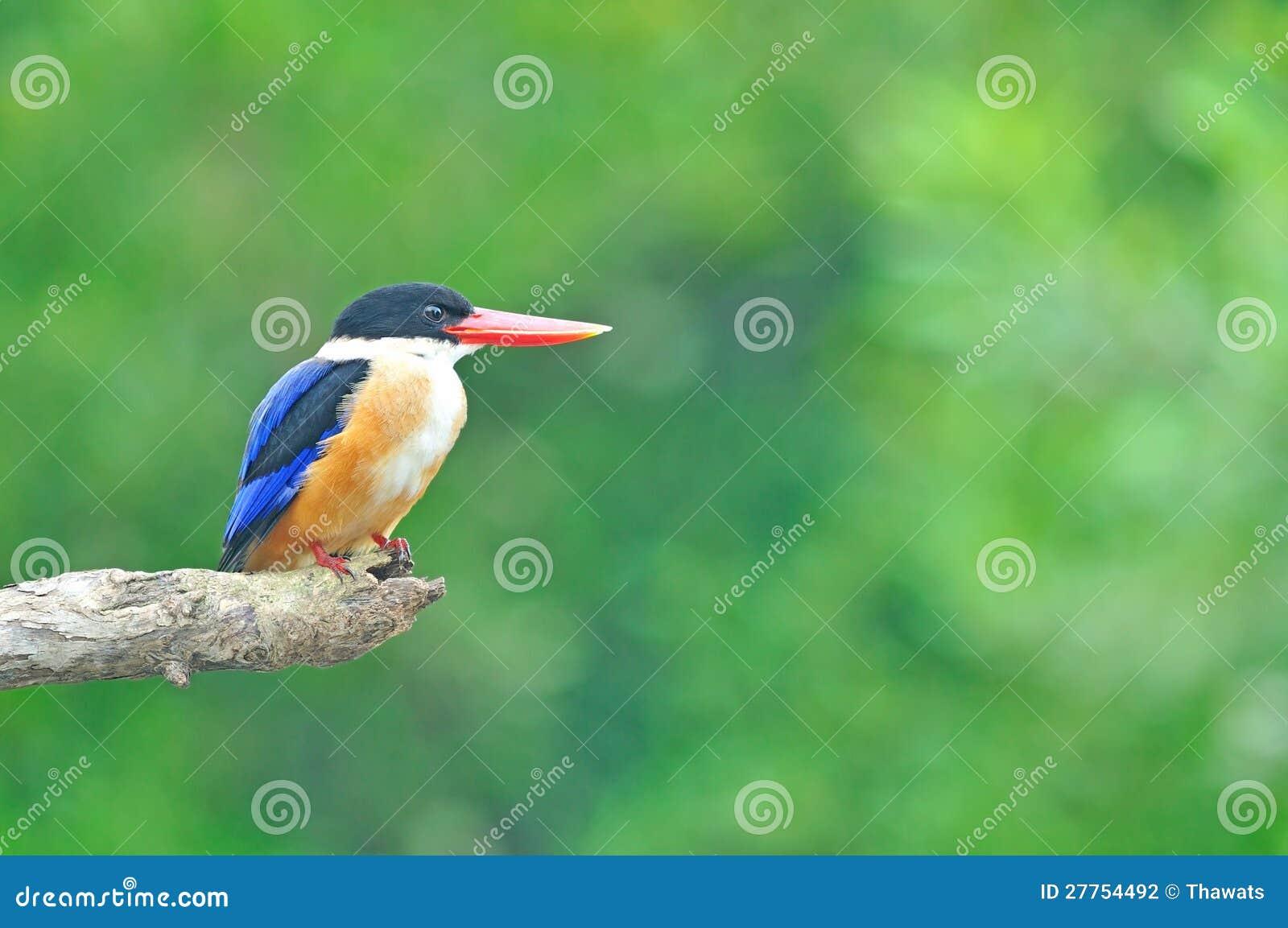 Martin-pêcheur Noir-recouvert