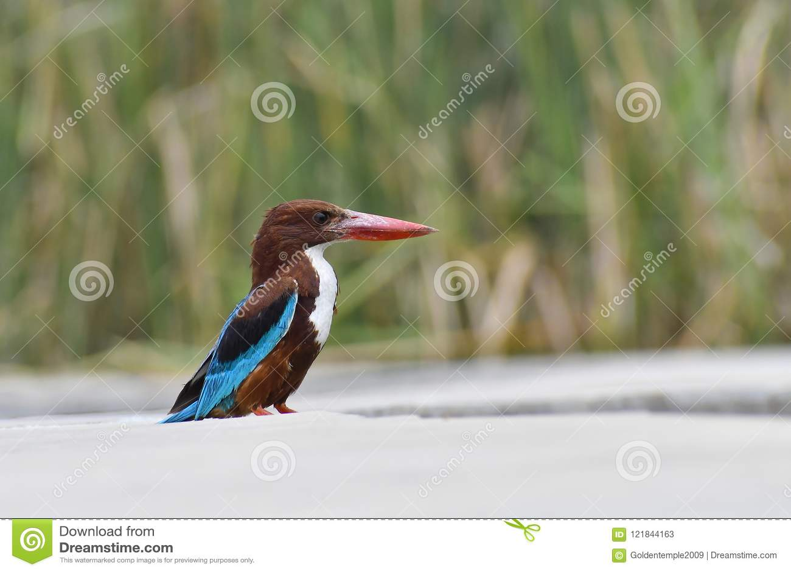 Martinho pescatore Branco-throated Smyrnensis, bonito, sentando-se em um polo