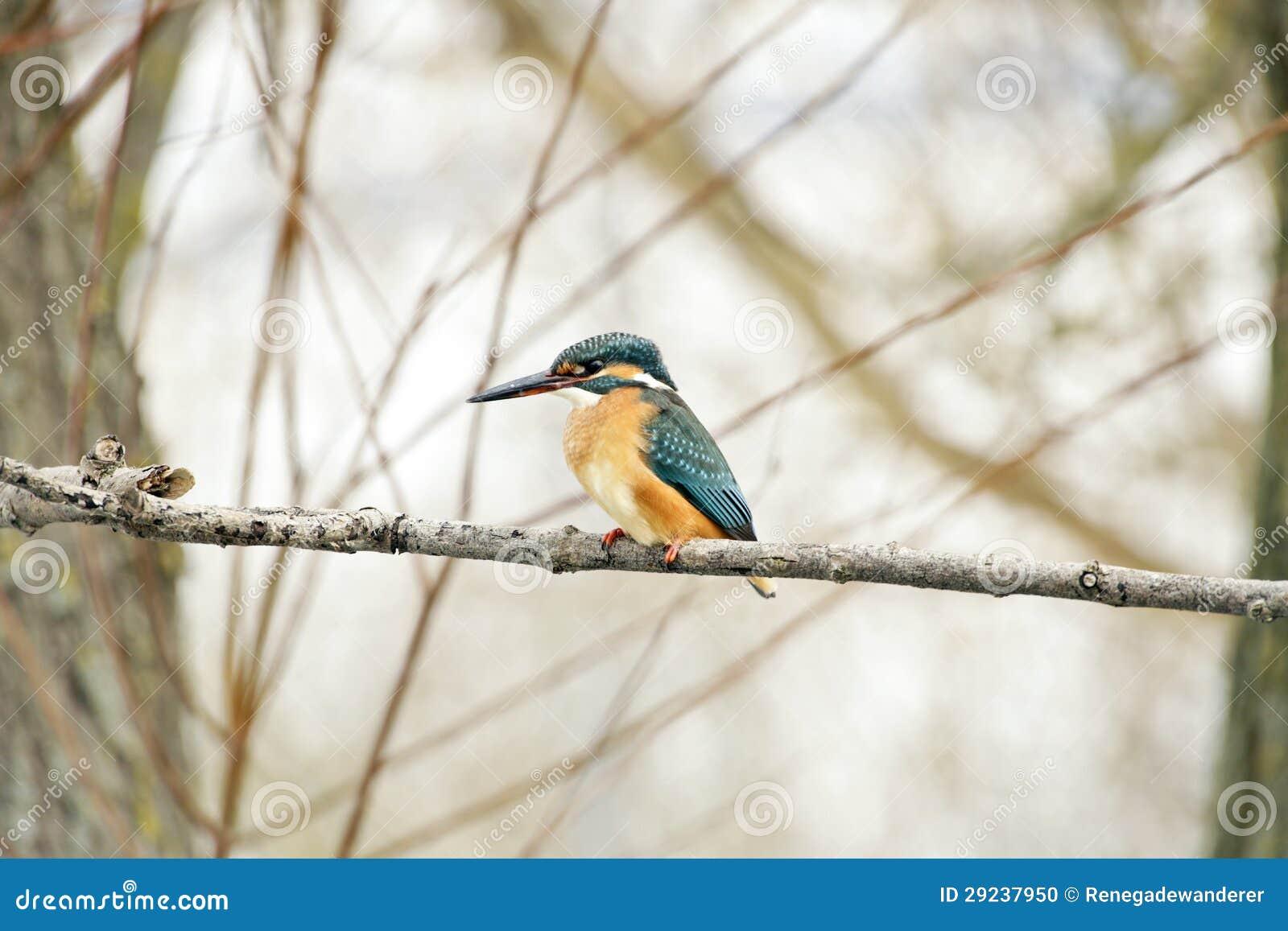 Download Martinho pescatore comum foto de stock. Imagem de plumage - 29237950