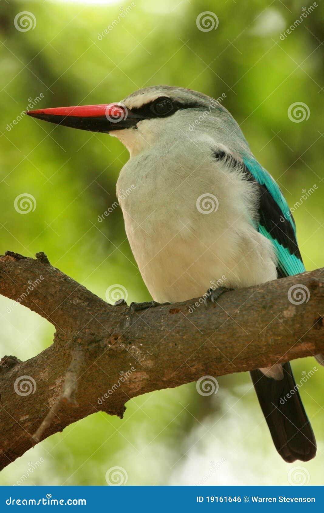 Martinho pescatore da floresta
