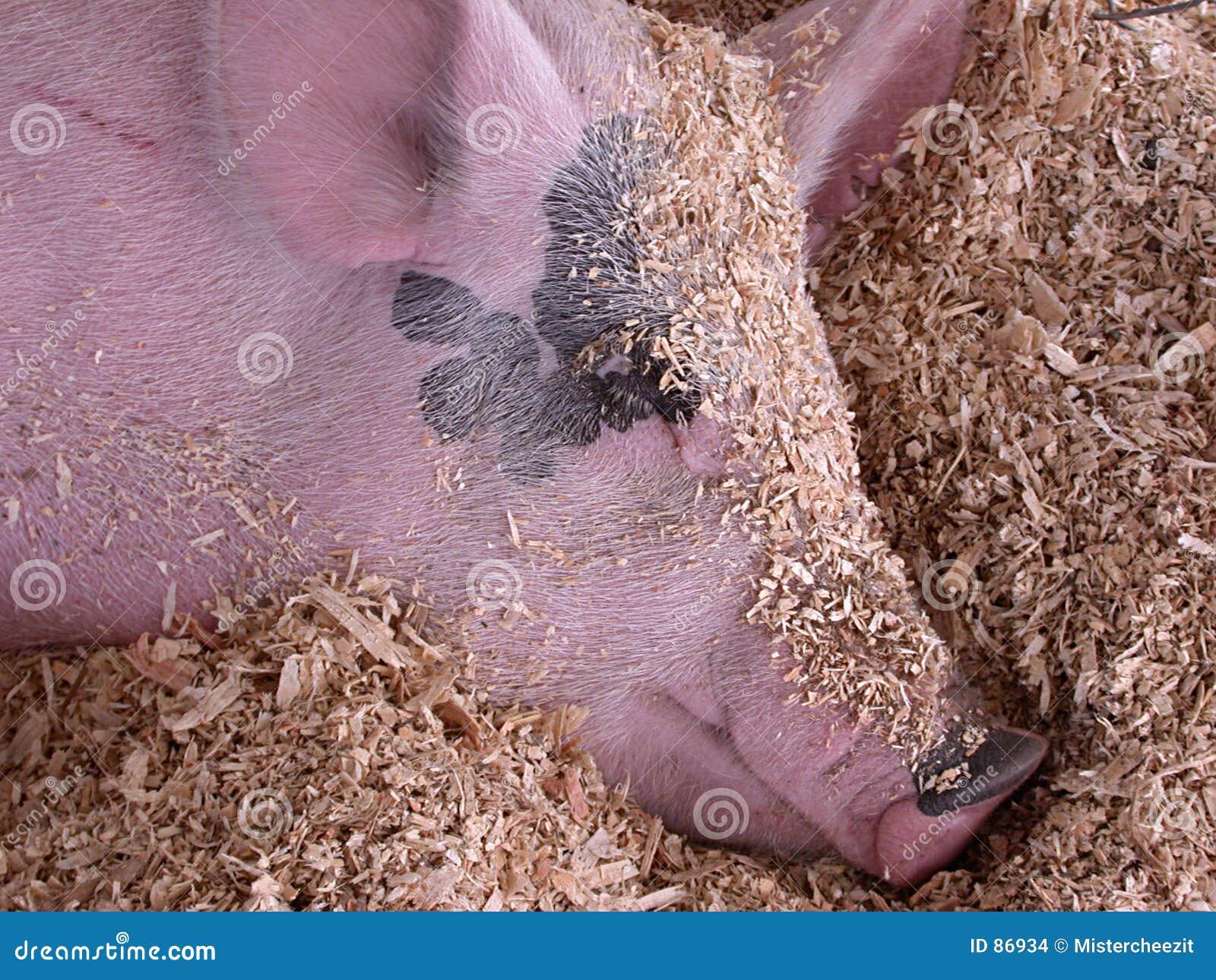 Marzy o świń
