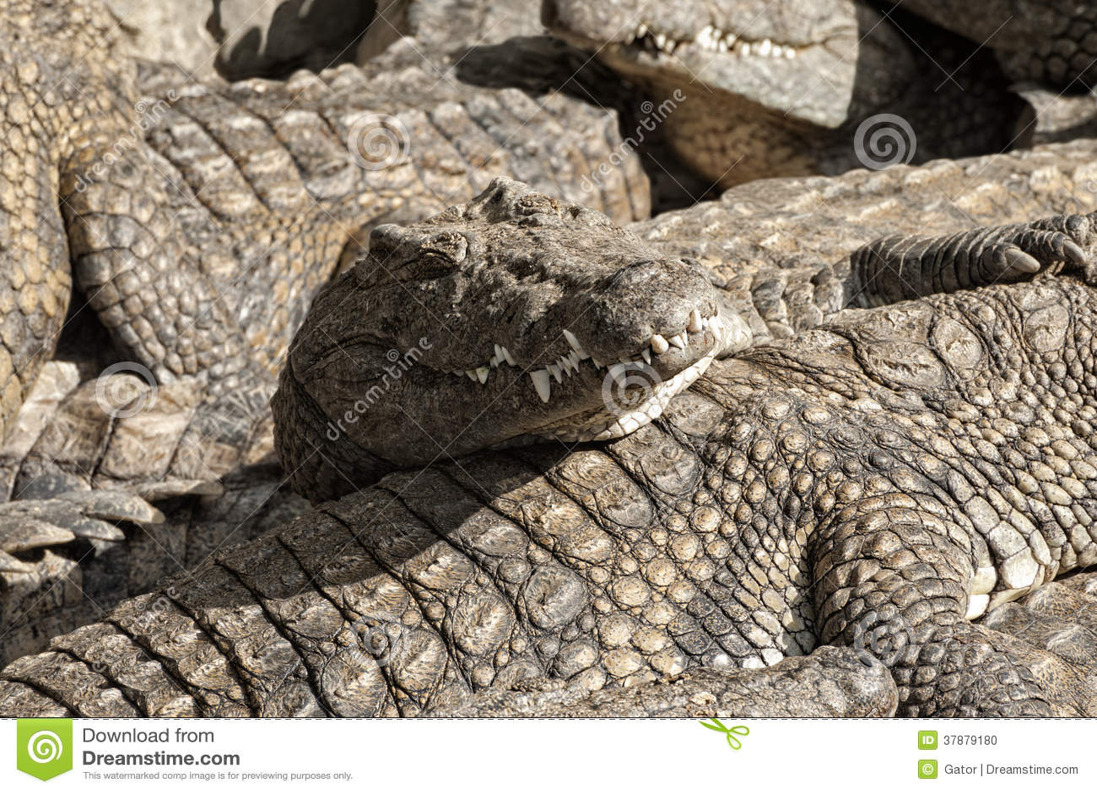 Masai Mara crocs