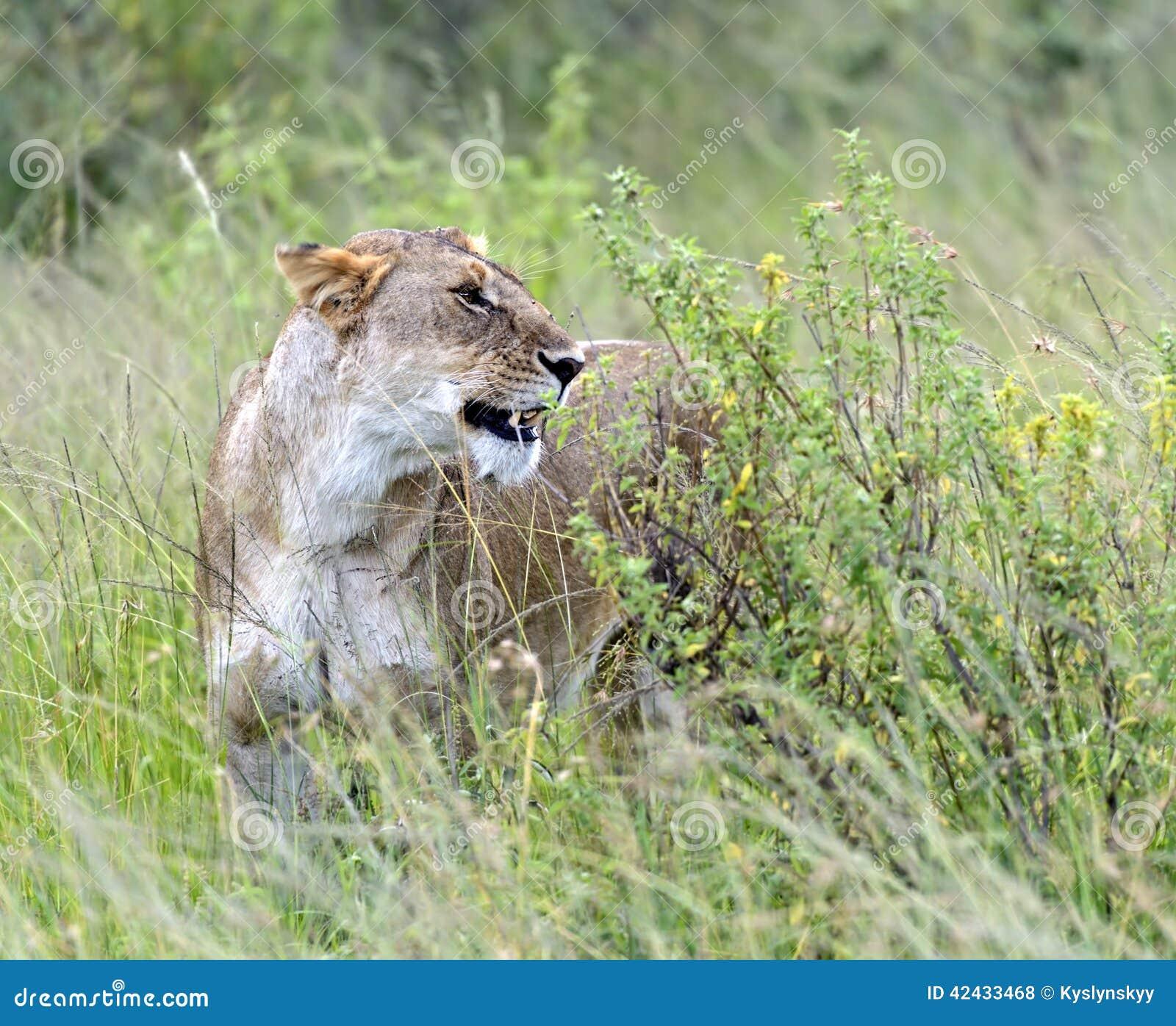 Masai Mara de los leones