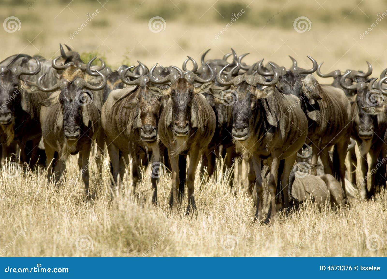 Masai mara Kenia del Wildebeest