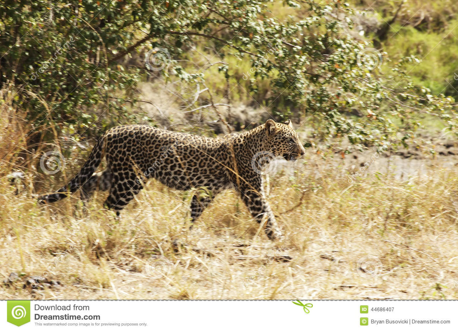 Masai Mara lampart