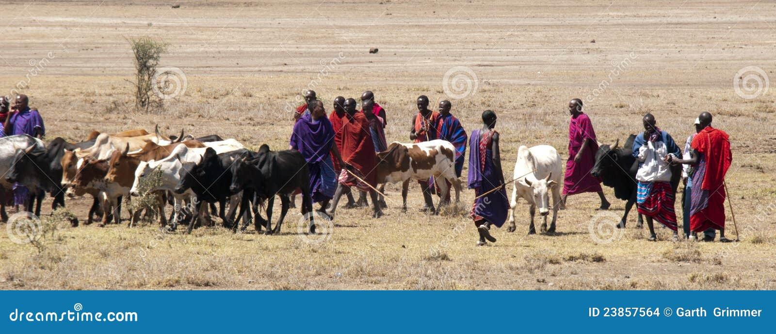 Masai que agrupa o gado