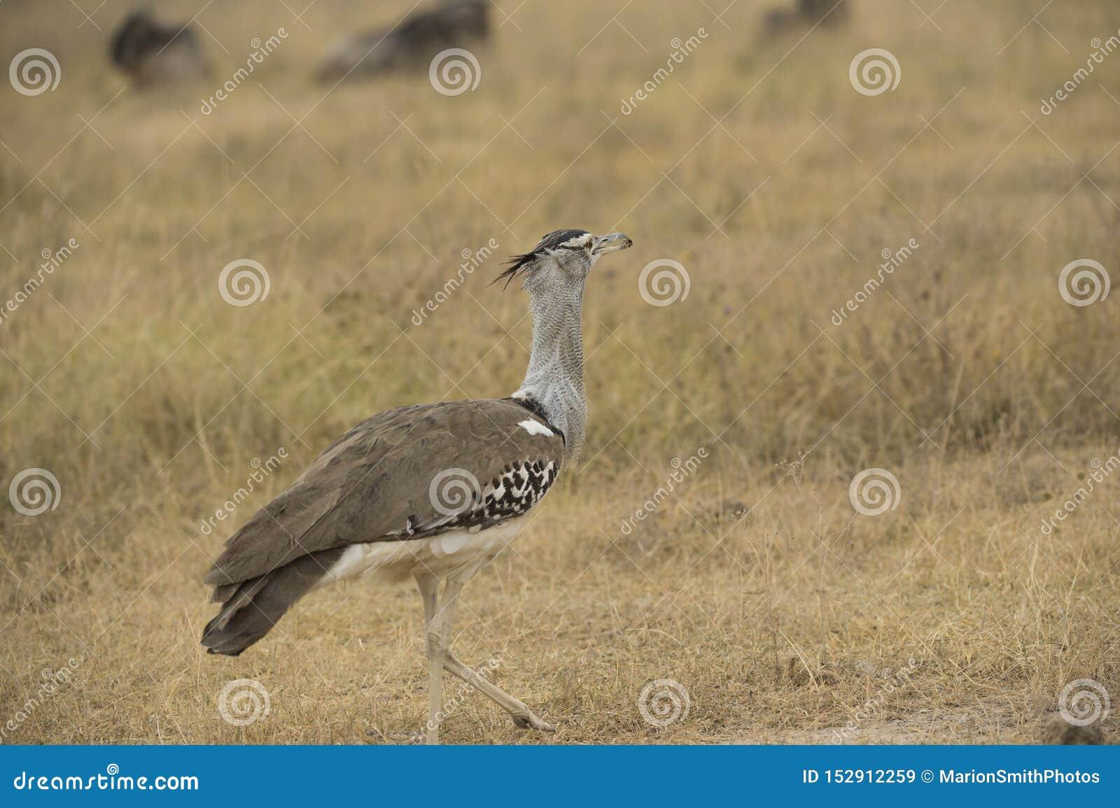 Masaistruisvogel, als de roze-necked struisvogel ook wordt bekend die