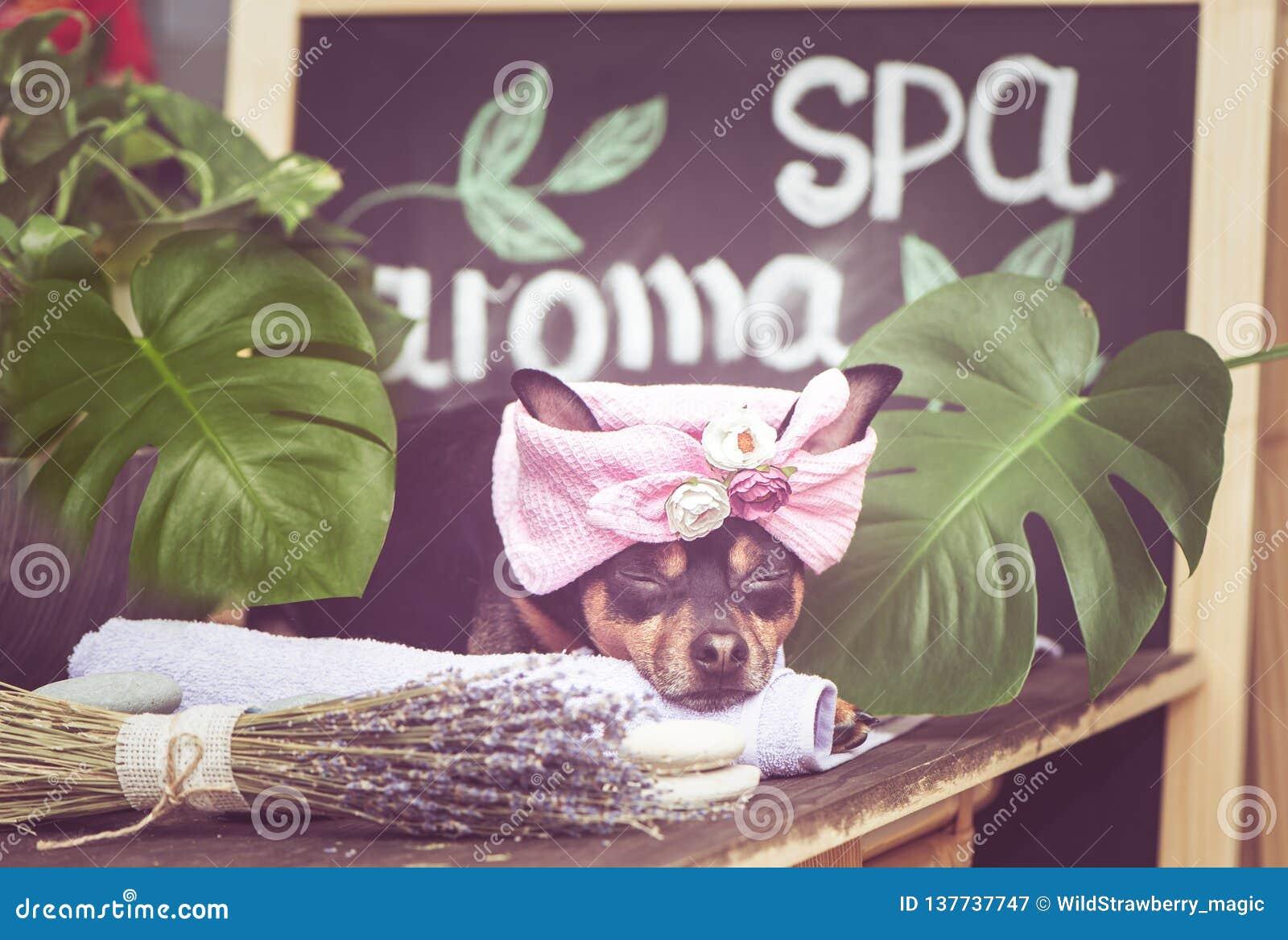 Masaje y balneario, un perro en un turbante de una toalla