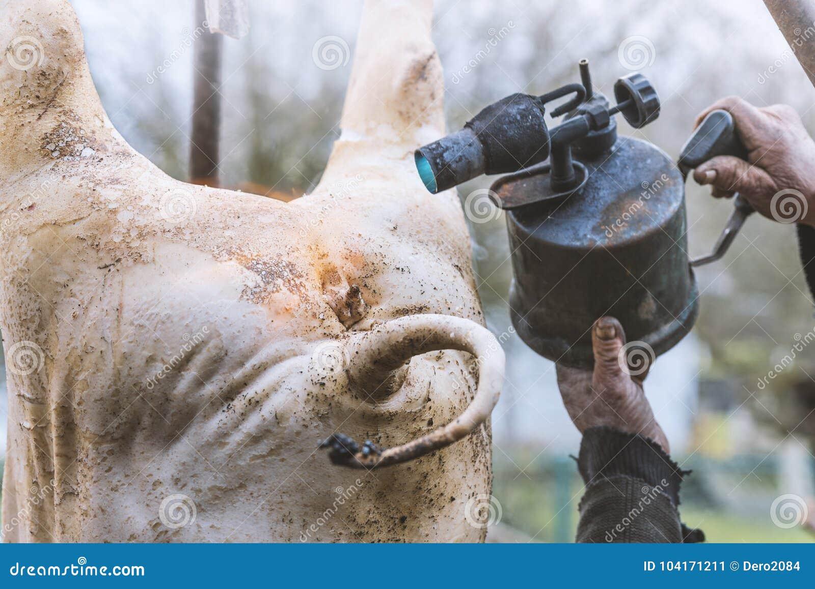 Masarka obchodzi się ubitej świni z blowtorch, włosiany usunięcie, zrozumienie na tripod, przygotowanie ciąć, Ukraina