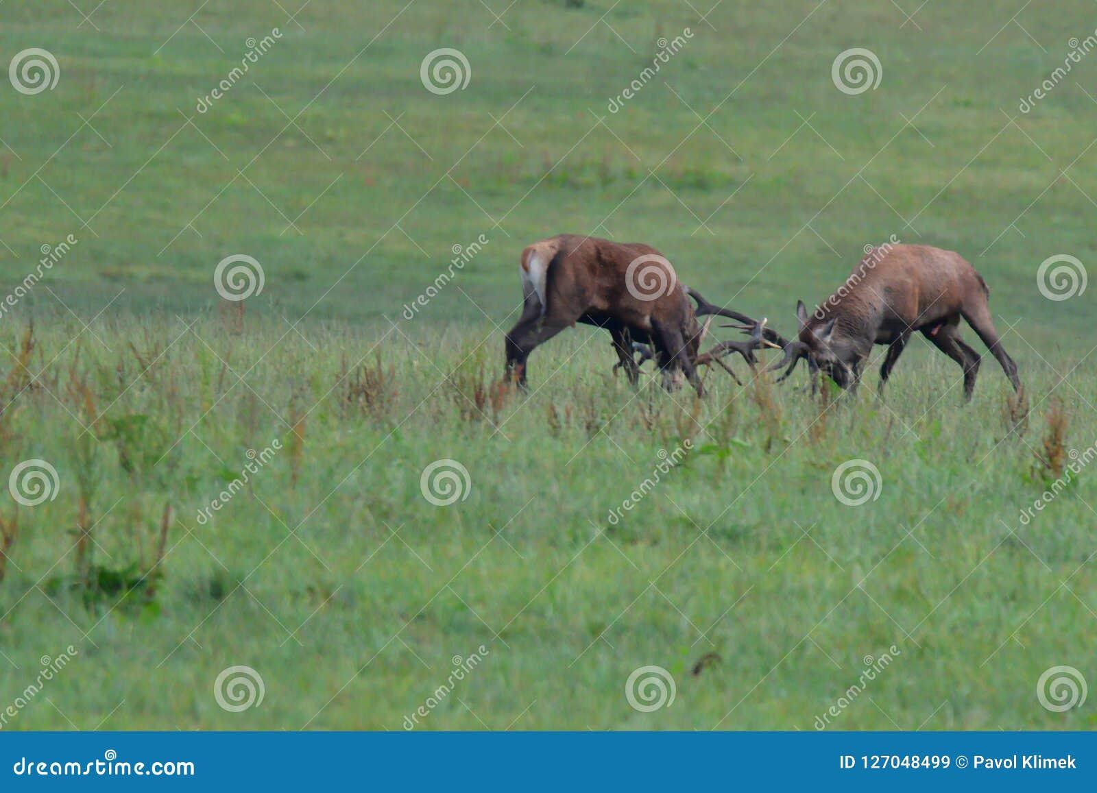 Maschio dei cervi nella stagione della carreggiata sul combattimento del prato
