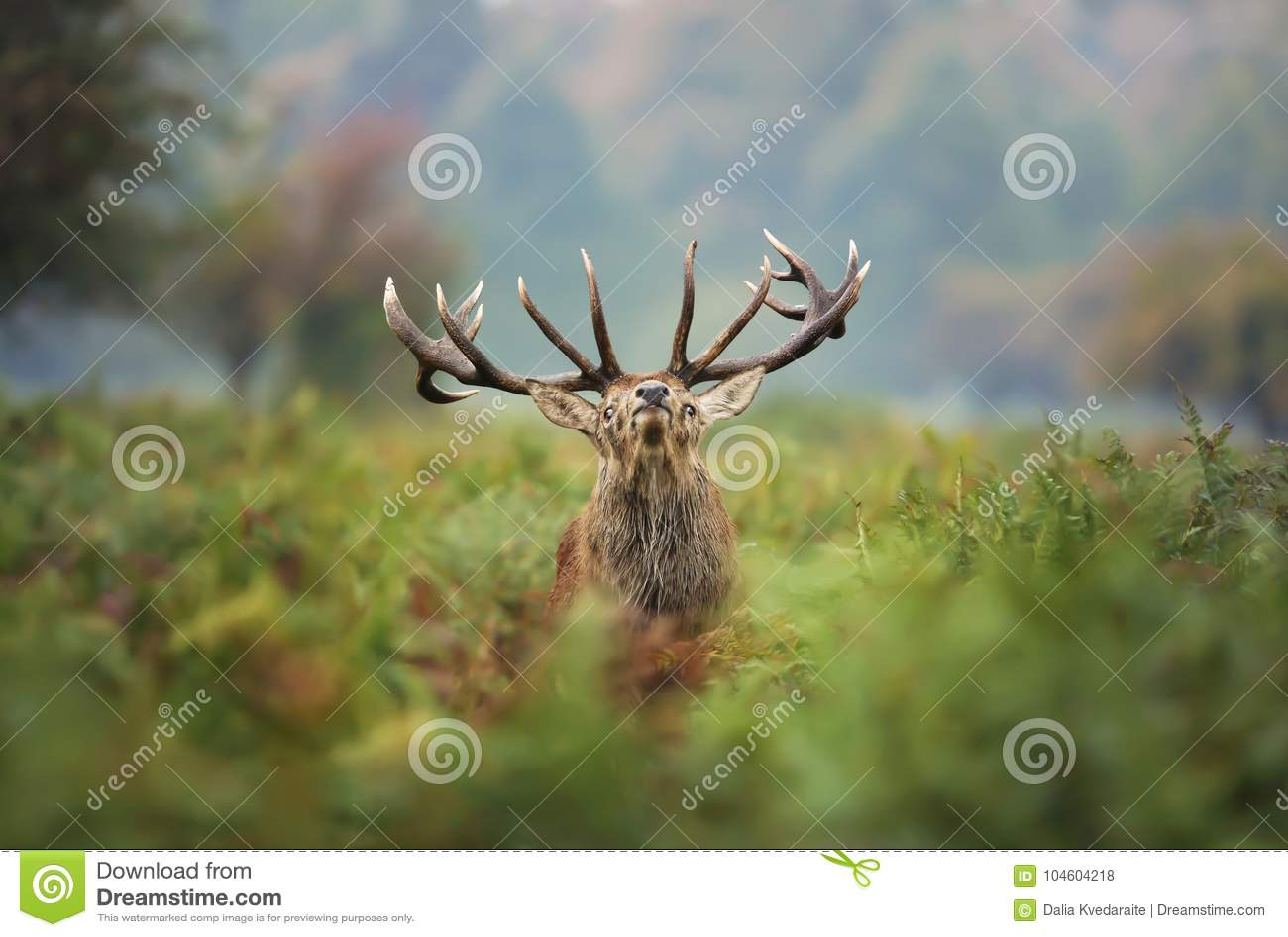 Maschio dei cervi nobili durante la carreggiata