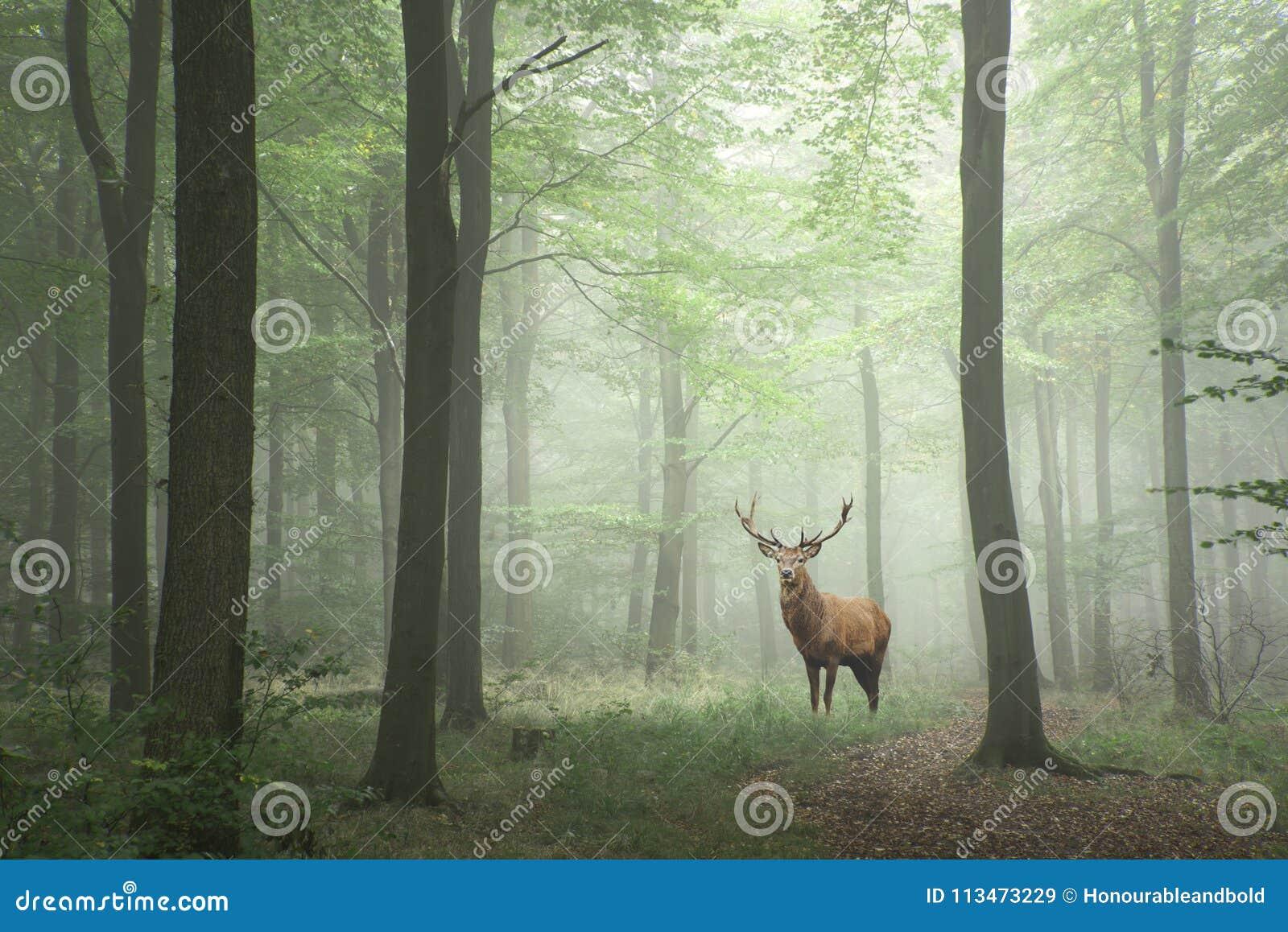 Maschio dei cervi nobili nelle parti anteriori nebbiose di favola di concetto verde fertile di crescita