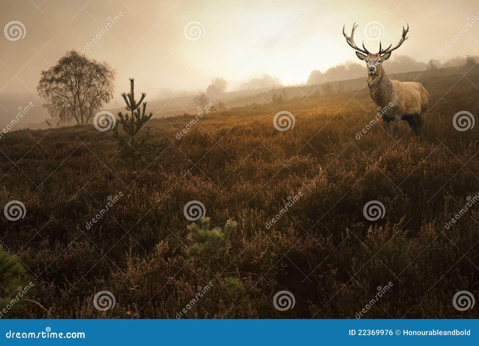 Maschio dei cervi rossi nel paesaggio nebbioso di caduta di autunno