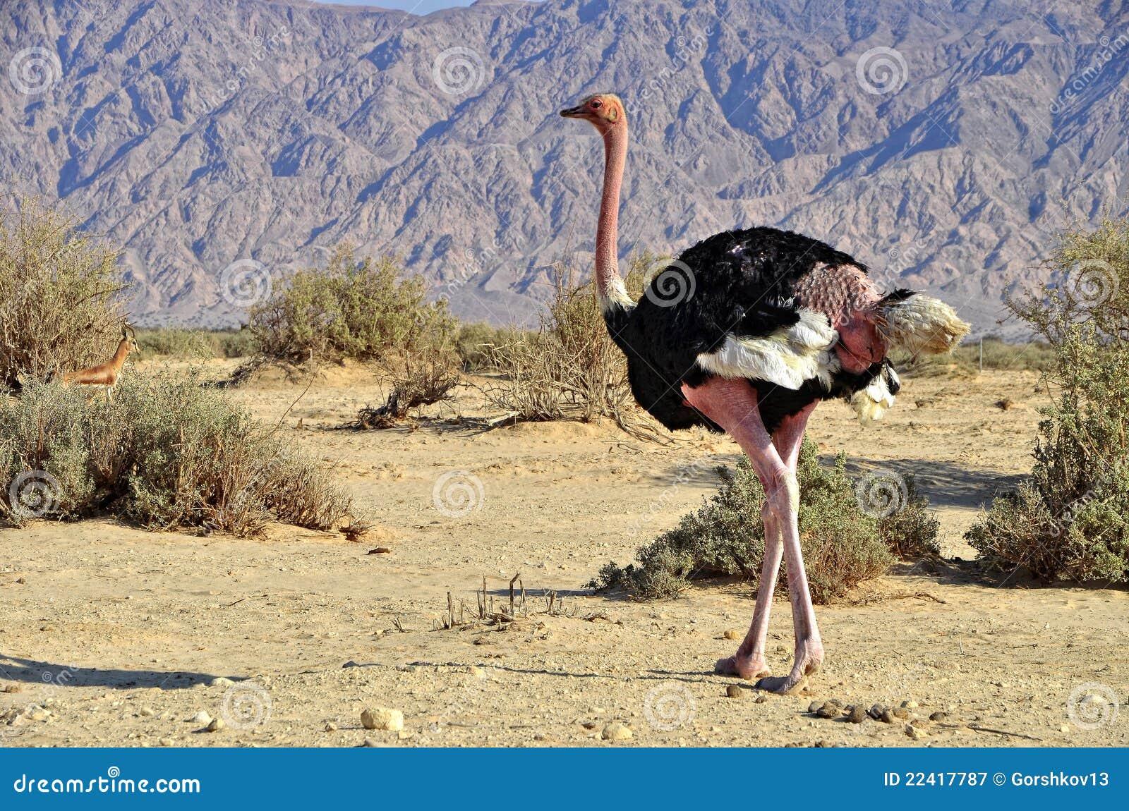 Maschio dello struzzo africano camelus dello struthio - Foto di uno shamrock ...