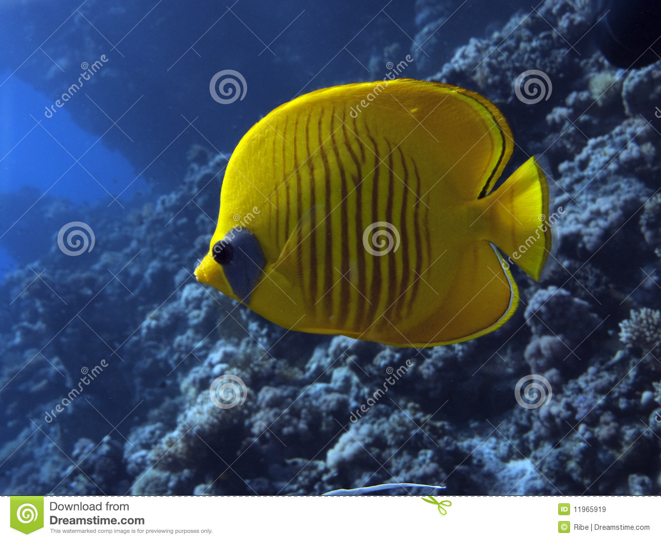 Masked butterfly fish - Chaetodon semilarvatus