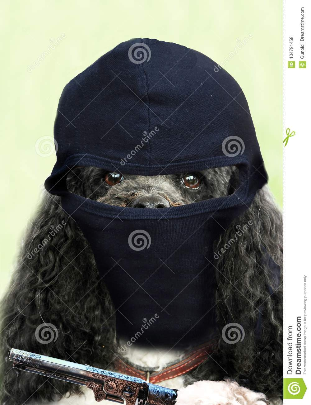 Bad poodle dog making a robbery. Background photo for your mobile cell phone or as wallpaper or screen saver