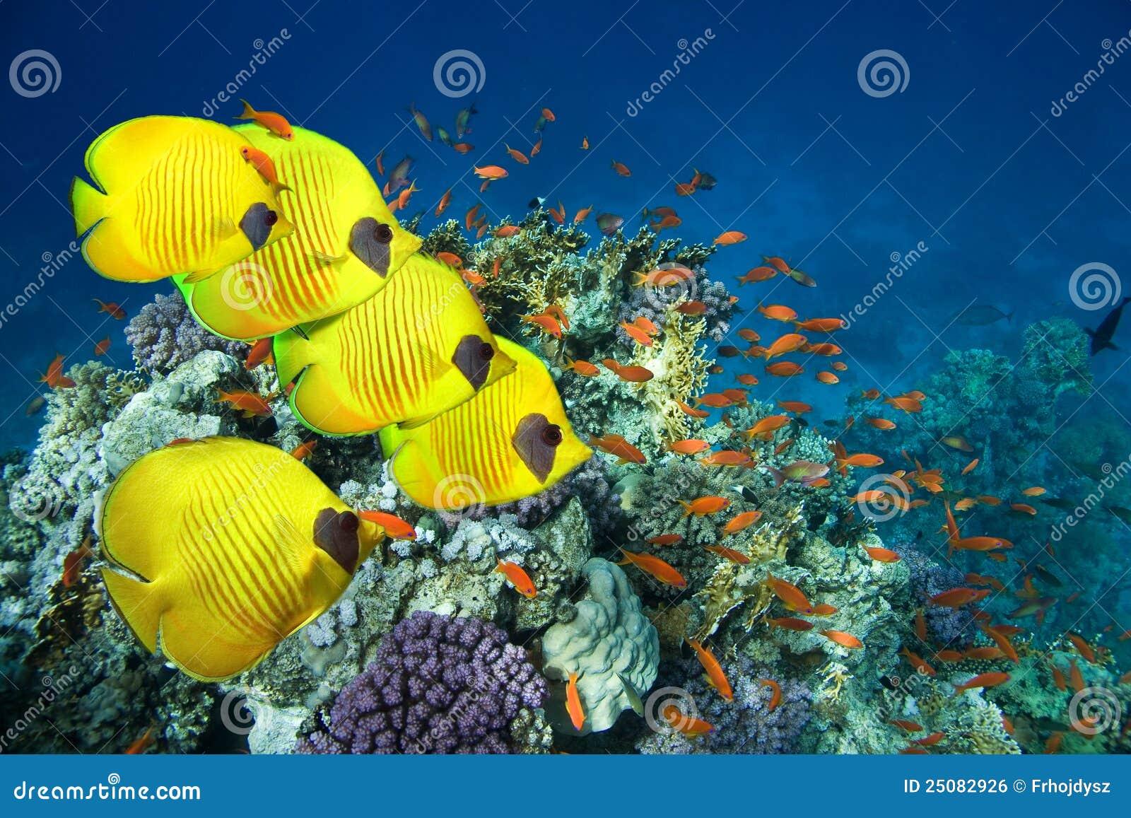 Maskerad skola för fjäril fisk