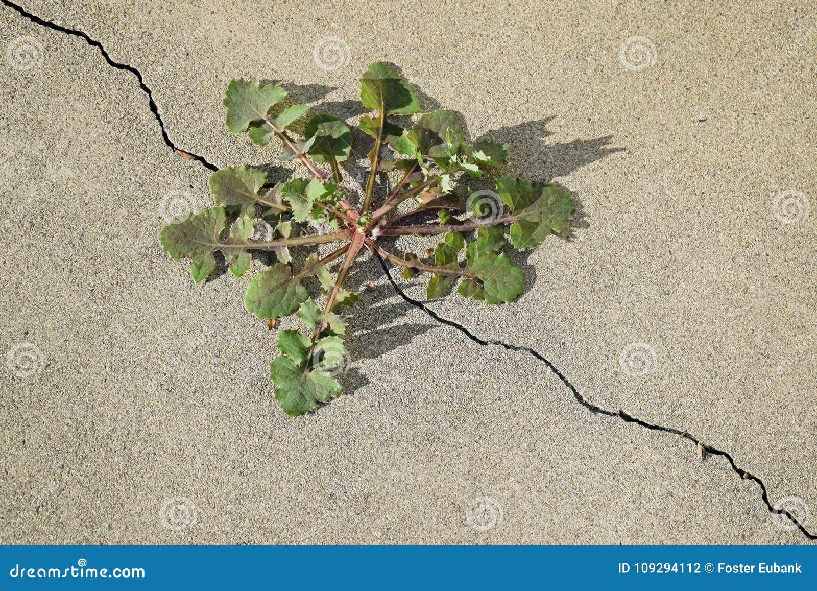 Maskros ( Taraxacumsp ) växt som växer ut ur en spricka i en konkret tjock skiva